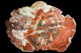 "Buy 6.95"" Polished Petrified Wood (Araucaria) Round - Arizona - #141391"