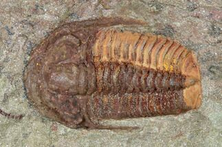 "Buy .94"" Colorful Euloma Trilobite - Zagora, Morocco - #141814"