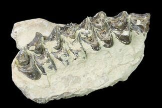 "2.4"" Oreodont (Merycoidodon) Jaw Section - South Dakota For Sale, #140921"