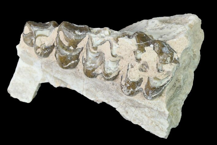 "2.1"" Oreodont (Merycoidodon) Jaw Section - South Dakota"