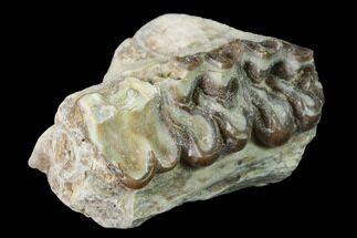 Mesohippus sp. - Fossils For Sale - #140898