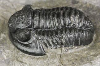 "Buy .7"" Detailed Gerastos Trilobite Fossil - Morocco - #141682"