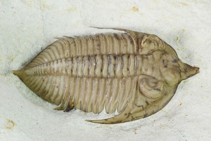"1.65"" Huntonia Trilobite - Black Cat Mountain, Oklahoma"