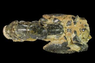 "3.35"" Fossil Mud Lobster (Thalassina) - Australia For Sale, #141044"