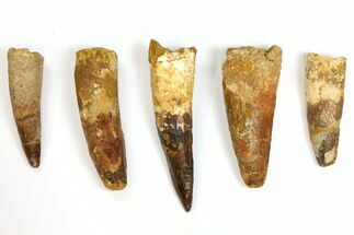 "Buy Wholesale Lot: 3 to 4.6"" Bargain Spinosaurus Teeth - 5 Pieces - #141538"