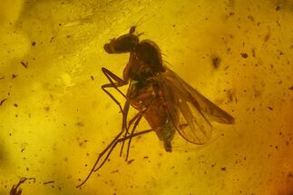 Detailed Fossil Fly (Diptera) In Baltic Amber For Sale, #142217
