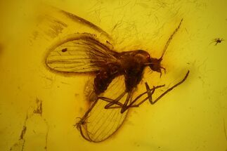 Fossil Moth fly (Psychodidiae) & Fly (Diptera) In Baltic Amber For Sale, #142229