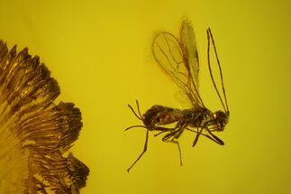 Fossil Archwasp (Hymenoptera) In Baltic Amber For Sale, #142232