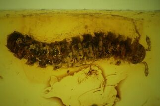 Buy Fossil Centipede (Chilopoda) & Springtail (Collembola) Baltic Amber  - #142240
