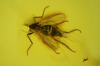Fossil Fly (Diptera) In Baltic Amber For Sale, #142259