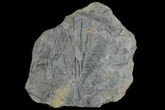 Alethopteris sp. & Lepidodendron sp. - Fossils For Sale - #142437