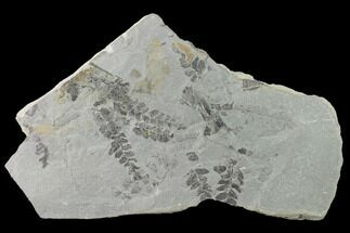 "Buy 9"" Fossil Flora (Neuropteris & Sphenophyllum) Plate - Kentucky - #142423"