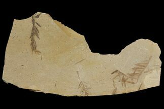 Metasequoia (Dawn Redwood) - Fossils For Sale - #142557