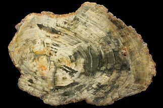 Araucaria (Conifer) - Fossils For Sale - #143121