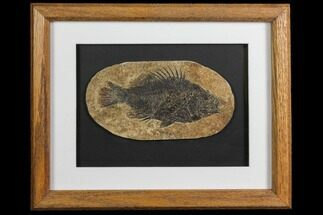 "5.3"" Framed Fossil Fish (Cockerellites) - Wyoming For Sale, #143762"