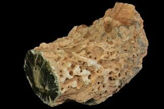 "Buy 10.9"" Long Triassic Petrified Wood (Woodworthia) Log - Zimbabwe - #143935"