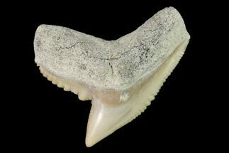 "Buy 1.26"" Fossil Tiger Shark (Galeocerdo) Tooth -  Aurora, NC - #143917"