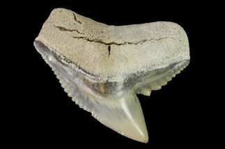 "1.21"" Fossil Tiger Shark (Galeocerdo) Tooth -  Aurora, NC For Sale, #143921"