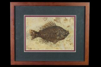 "5.5"" Framed Fossil Fish (Cockerellites) - Wyoming For Sale, #143990"