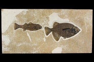 Phareodus testis & Mioplosus labracoides  - Fossils For Sale - #144006