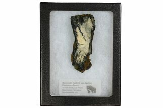Mammuthus columbi - Fossils For Sale - #144261