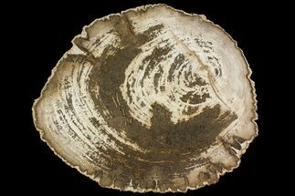 "15.2"" Polished Petrified Wood (Dicot) Round - Live Oak County, Texas For Sale, #144662"