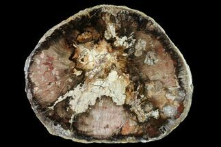 "Buy 10"" Polished Petrified Wood (Oak) Round - Oregon - #144676"