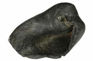 "2.8"" Fossil Whale Ear Bone - Miocene For Sale, #144917"