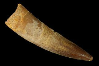 "2.08"" Spinosaurus Tooth - Real Dinosaur Tooth For Sale, #144935"