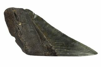 "5.1"" Partial, Fossil Megalodon Tooth ""Paper Weight"" For Sale, #144416"