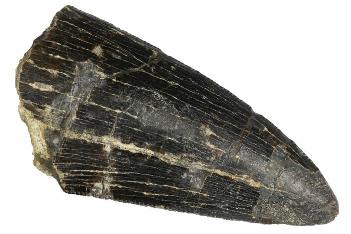 "1.69"" Tyrannosaur Tooth - Two Medicine Formation"