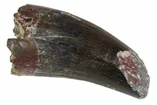 ".72"" Fossil Phytosaur Tooth - Arizona For Sale, #145004"