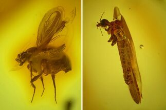 Detailed Fossil Cranefly and Humpbacked Fly in Baltic Amber For Sale, #145493