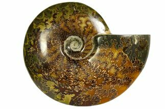 "Buy 7.3""  Polished, Agatized Ammonite (Cleoniceras) - Madagascar - #145804"