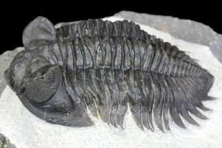 "2"" Coltraneia Trilobite Fossil - Huge Faceted Eyes For Sale, #146573"