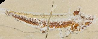 Prionolepis sp. - Fossils For Sale - #147180