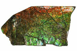 "7.2"" Rainbow Ammolite (Fossil Ammonite Shell) - Alberta, Canada For Sale, #147257"