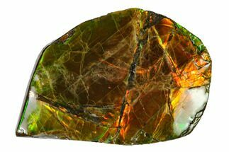 "1.6"" Iridescent Ammolite (Fossil Ammonite Shell) - Alberta, Canada For Sale, #147437"