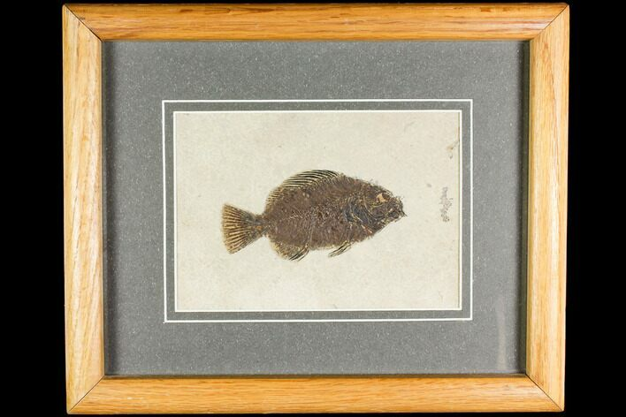 "4.2"" Framed Fossil Fish (Cockerellites) - Wyoming"