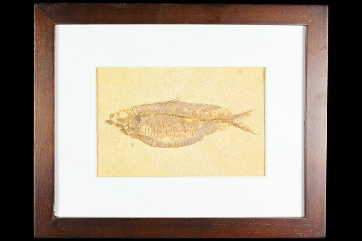 "5.1"" Framed Fossil Fish (Knightia) - Wyoming"