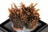 "2"" Bright Orange Crocoite Crystal Cluster - Tasmania - #148513-3"