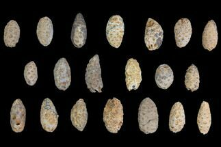 Buy Lot: Fossil Seed Cones (Or Aggregate Fruits) - 20 Pieces - #148849
