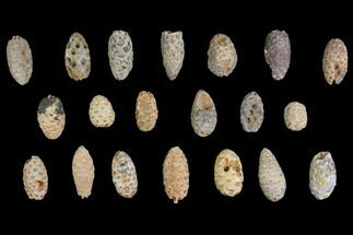 Lot: Fossil Seed Cones (Or Aggregate Fruits) - 20 Pieces For Sale, #148850