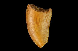 "Buy Bargain, .55"" Raptor Tooth - Real Dinosaur Tooth - #149077"
