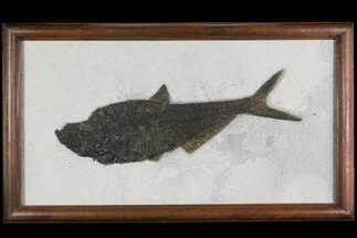 "Buy 13.2"" Framed Fossil Fish (Diplomystus) - Wyoming - #149761"