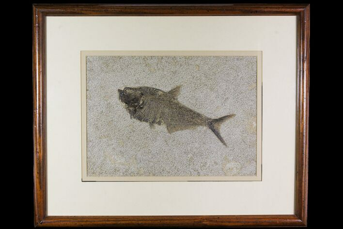 "9.7"" Framed Fossil Fish (Diplomystus) - Wyoming"