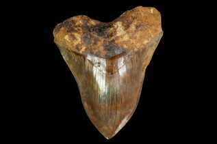 Megalodon Teeth For Sale