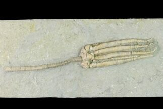 "5.5"" Fossil Crinoid (Parascytalocrinus) - Crawfordsville, Indiana For Sale, #150437"