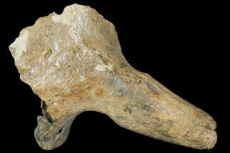 "Buy 12.5"" Pleistocene Aged Fossil Bison Skull Section with Horn - Kansas - #150448"