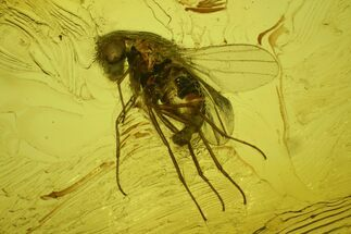 Order Diptera - Fossils For Sale - #150699